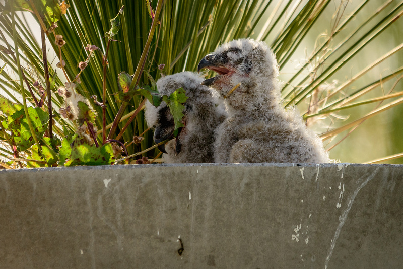 Great Horned Owl Chicks  (Click To Visit Gallery)