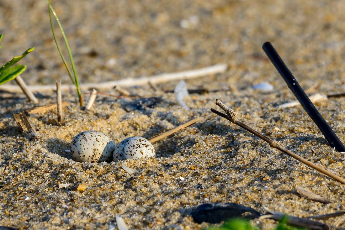Least Tern Eggs On Nest