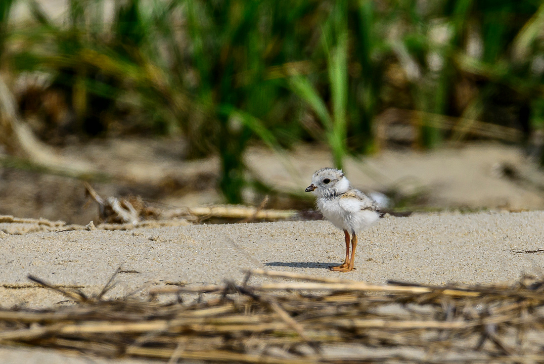 Piping Plover Hatchling