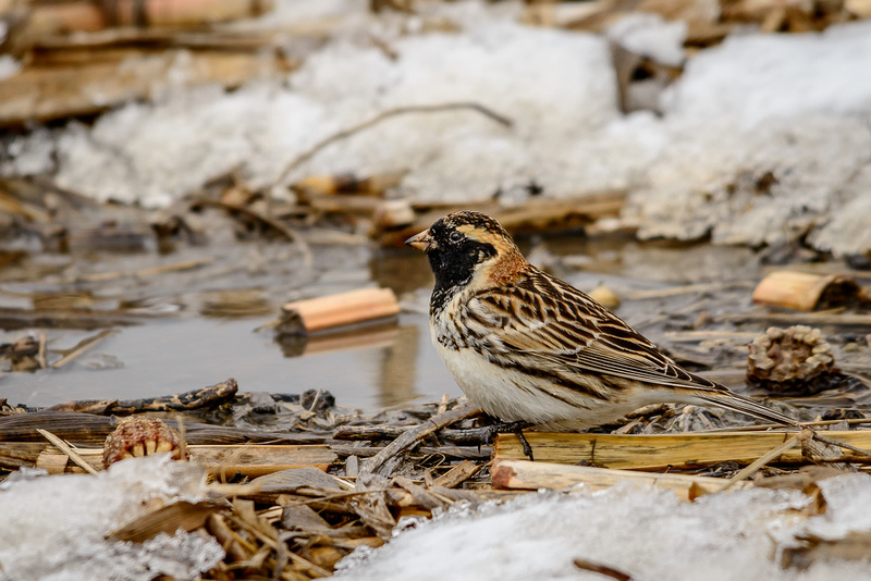 Lapland Longspur (Click to view Gallery)