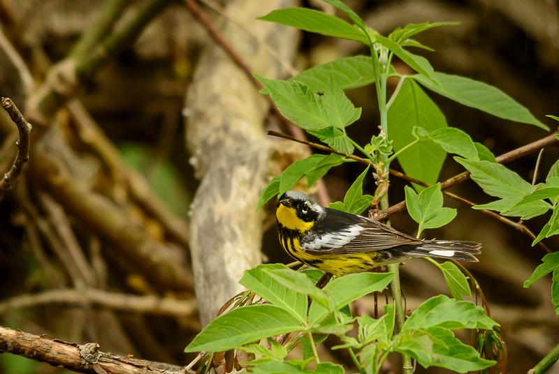 Magnolia Warbler; Magee Marsh, Lake Erie Ohio