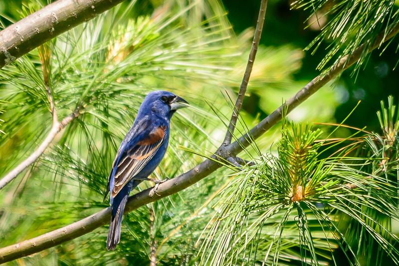 Blue Grosbeak; Batelle Darby Metro Park, Columbus Ohio