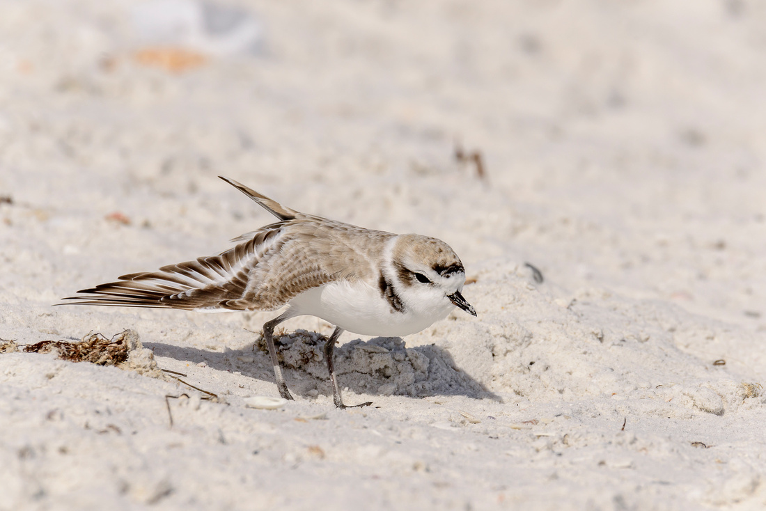 Snowy Plover Stretching Out
