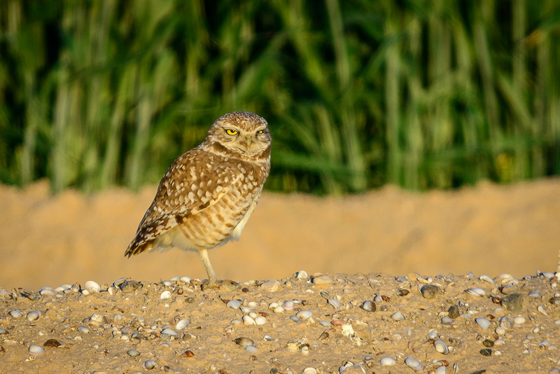 Burrowing Owl (Click To Visit Gallery)