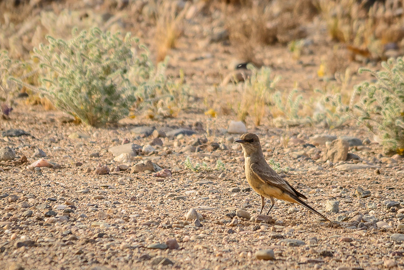 Say's Phoebe (Click To Visit Gallery)