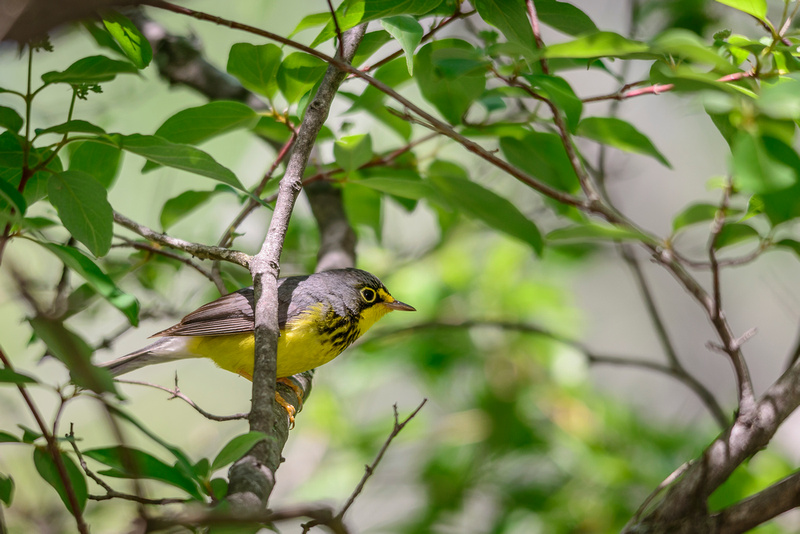 Canada Warbler; Magee Marsh, Lake Erie Ohio