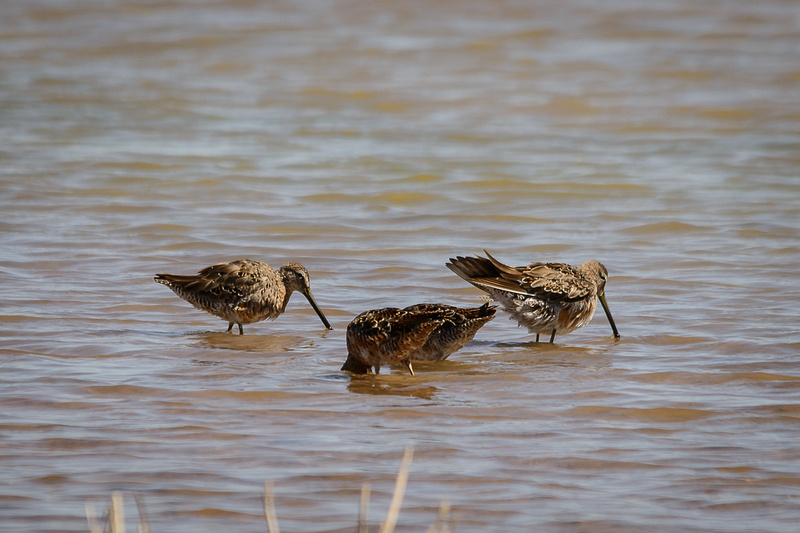 Long-billed Dowitcher (Click to visit Gallery)
