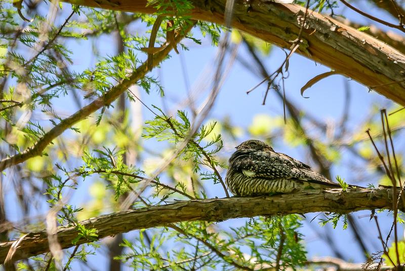 Common Nighthawk; Magee Marsh, Lake Erie OH
