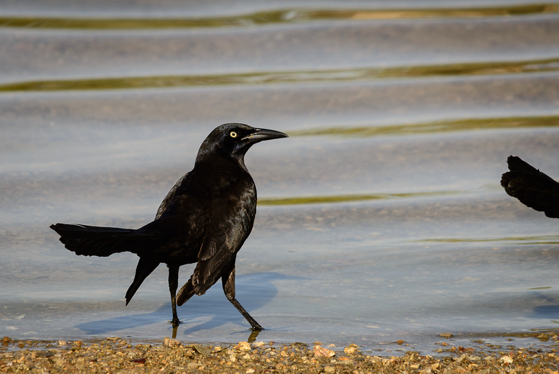 Great-tailed Grackle (Click To Visit Gallery)