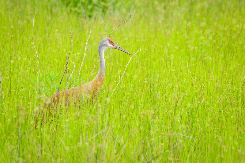 Male Sandhill Crane