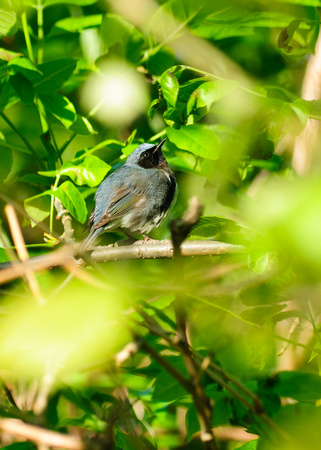 Black Throated Blue Warbler; Magee Marsh, Lake Erie Ohio