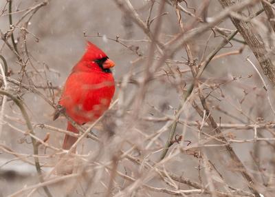 Northern Cardinal; Male