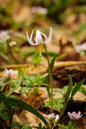 White Trout Lily; Lawrence Woods, Kenton OH