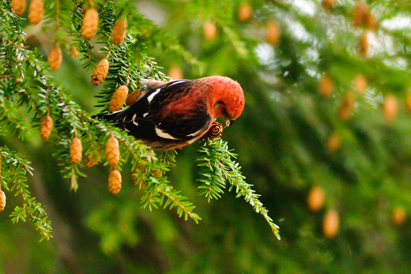 White-winged Crossbill; Upper Sandusky OH