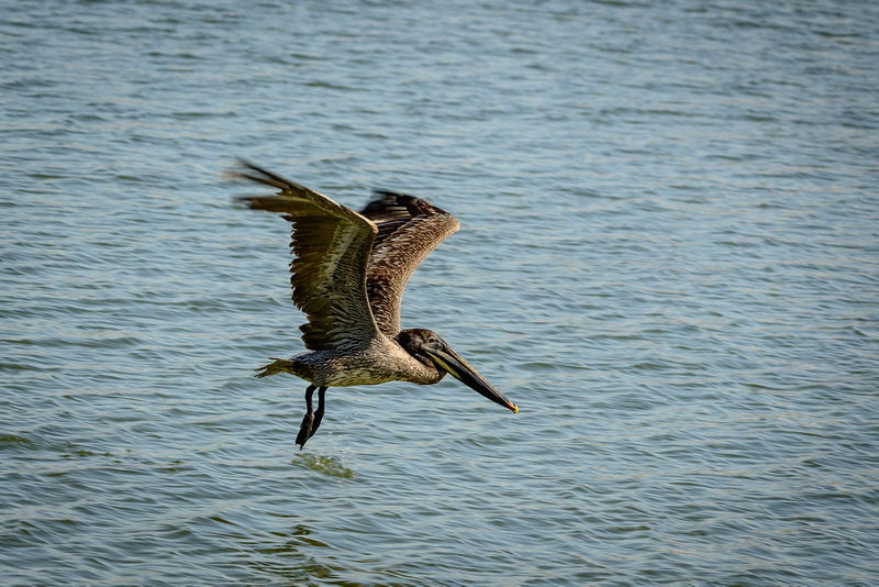 Brown Pelican (Click To Visit Gallery)