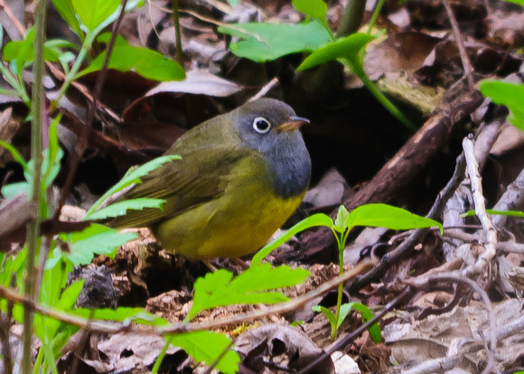 Connecticut Warbler  ; Magee Marsh, Lake Erie OH