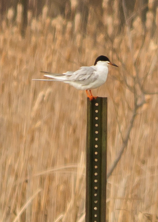 Forster's Tern; Killdeer Plains WA, Ohio