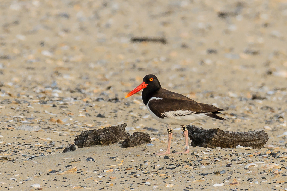 American Oystercatcher With Leg Bands
