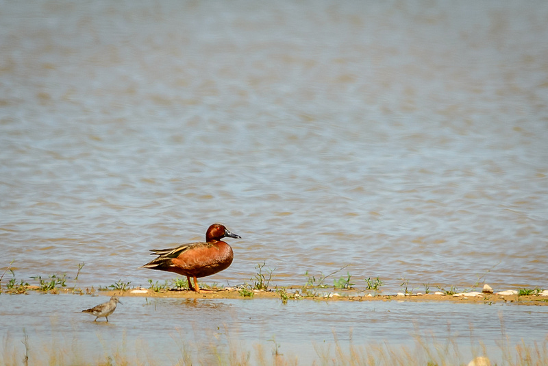 Cinnamon Teal (Click to visit Gallery)