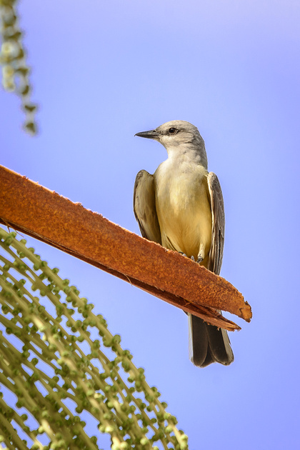 Western Kingbird (Click To Visit Gallery)