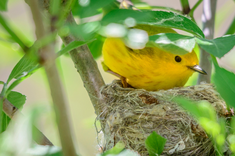 Female Yellow Warbler; Magee Marsh, Lake Erie Ohio