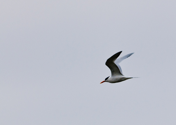 Royal Tern; Hoover Reservoir, Westerville Ohio