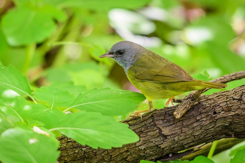 Mourning Warbler; Magee Marsh, Lake Erie OH