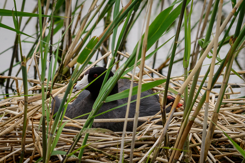 American Coot w/ Chick