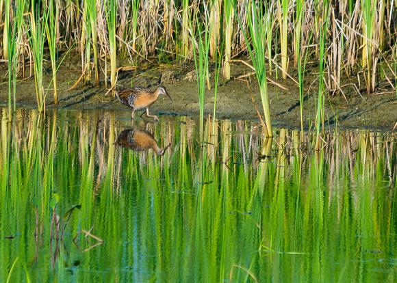 King Rail; Glacier Ridge Metro Park, Dublin Ohio