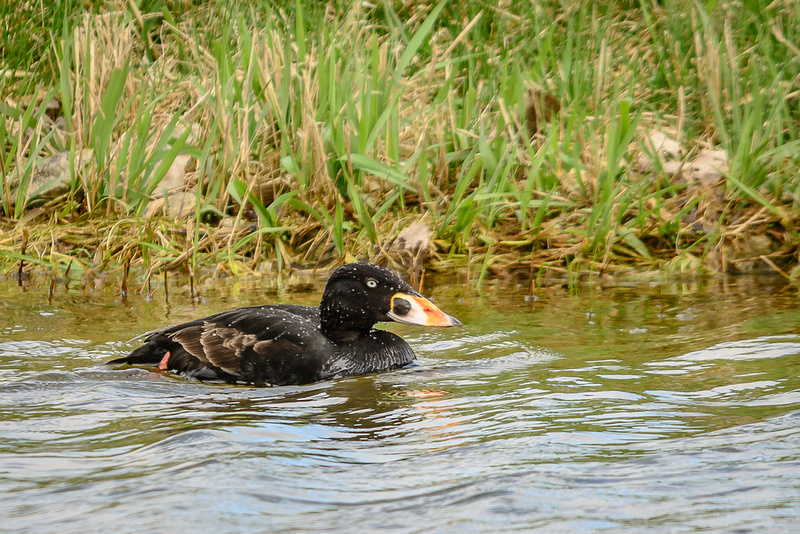 Surf Scoter (click to visit Galllery)