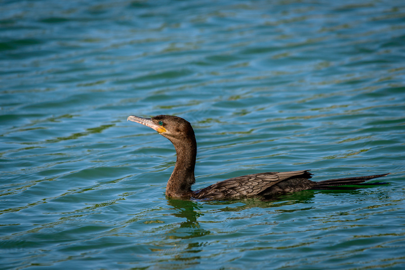 Neotropic Cormorant (Click To Visit Gallery)