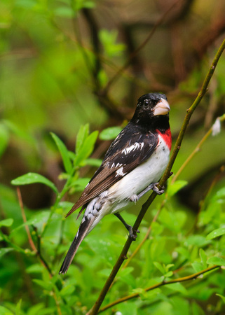 Rose-breasted Grosbeak; Male