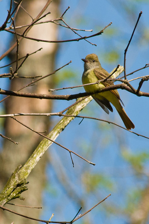 Great Creasted Flycatcher; Big Island Wildlife Area