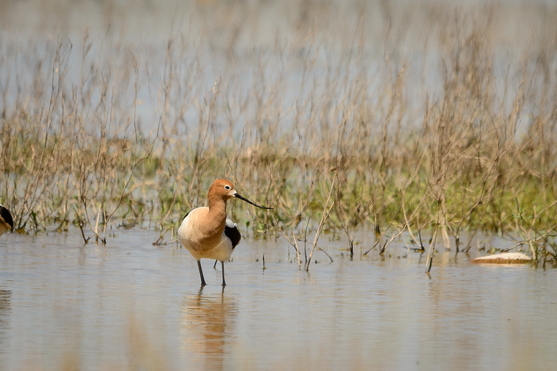 American Avocet (Click to visit Gallery)