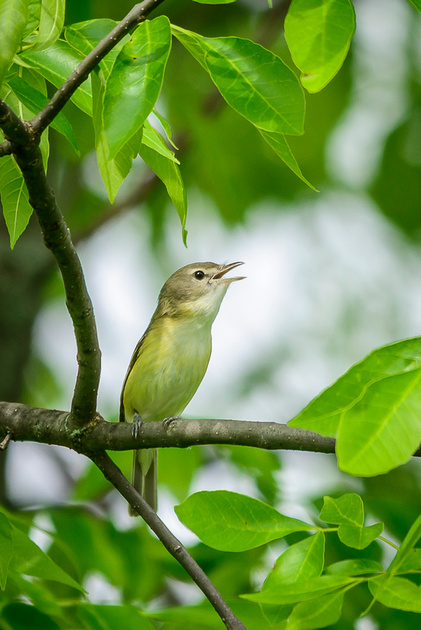 Bell's Vireo; Big Island Wildlife Area, Marion Ohio