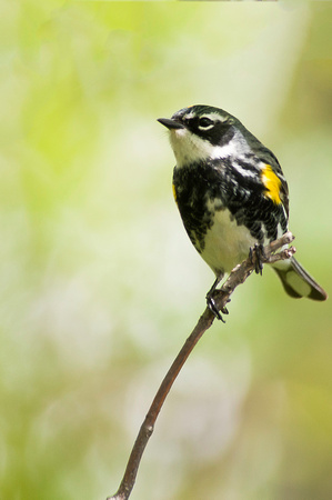 Yellow-rumped Warbler; Magee Marsh, Lake Erie Ohio