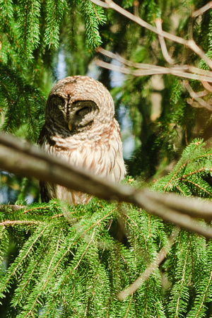 Barred Owl; Blacklick Woods, Columbus OH