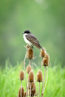 Flycatchers