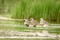 AMGolden and Black Bellied Plovers