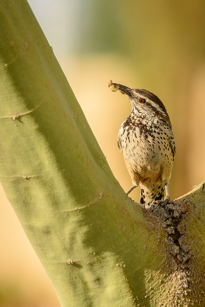 Cactus Wren with meal (Click To Visit Gallery)