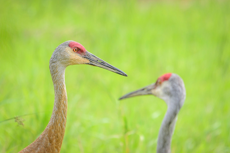Female Sandhill Crane