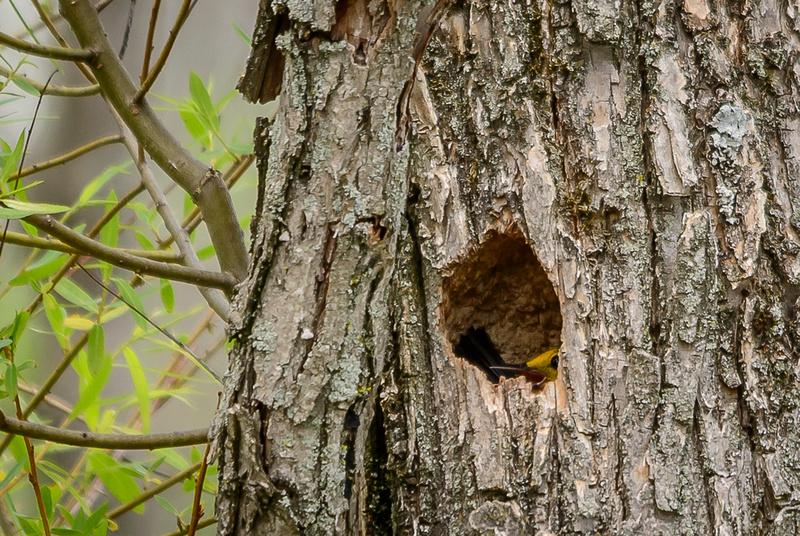 Female Prothonotary on Nest