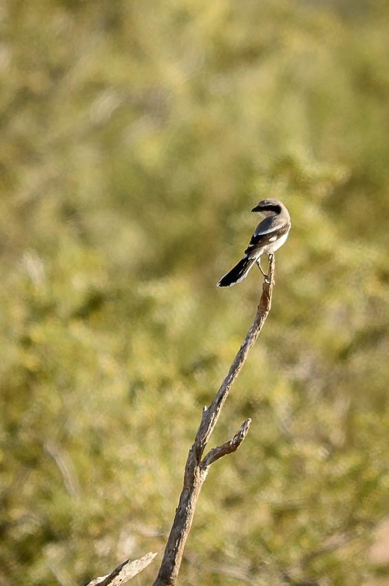 Loggerhead Shrike (Click To Visit Gallery)