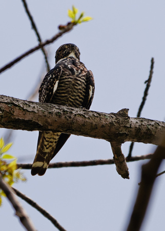 Common Nighthawk; Magee Marsh, Lake Erie OH