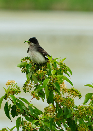 Eastern Kingbird; Union County