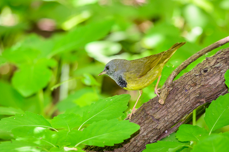 Mourning Warbler; Magee Marsh, Lake Erie OH