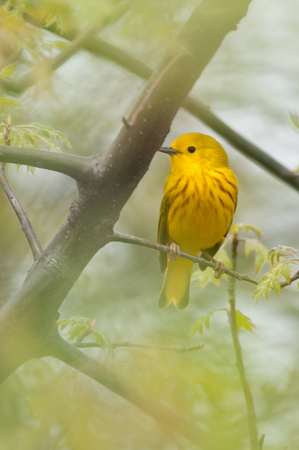 Male Yellow Warbler; Magee Marsh, Lake Erie Ohio