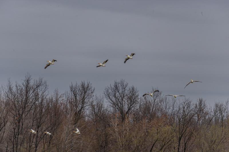 SJLaRue Photography: American Pelican &emdash; American White Pelican, Marion