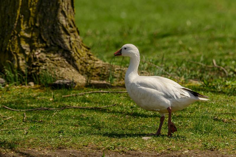 SJLaRue Photography: Ross's Goose &emdash; Ross's Goose
