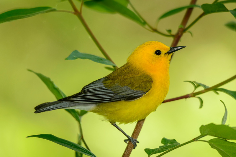Male Prothonotary Warbler